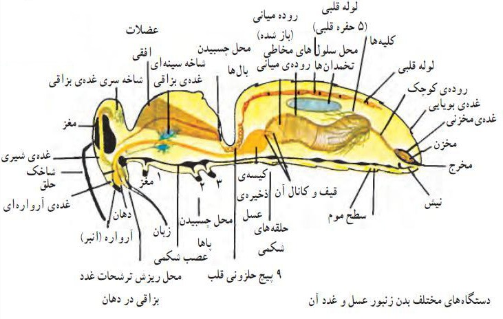 شکل-شناسی-خارجی-زنبور-عسل-1