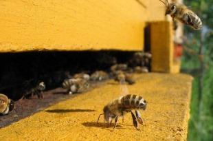 عملکرد زنبورها برای حفظ دمای کندو