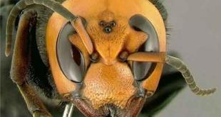 غلبه زنبور عسل ژاپنی بر زنبور سرخ ژاپنی