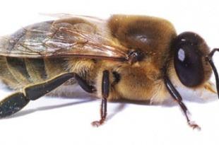 اهمیت پرورش زنبور نر