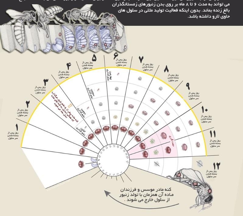 چرا باید از زنبورهای خود در مقابل کنه واروآ محافظت کنیم ؟