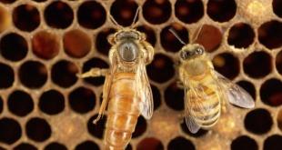 دلایل تخم ریزی غیر یکنواخت در ملکه زنبورعسل