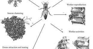 پیام شیمیایی در زنبور عسل