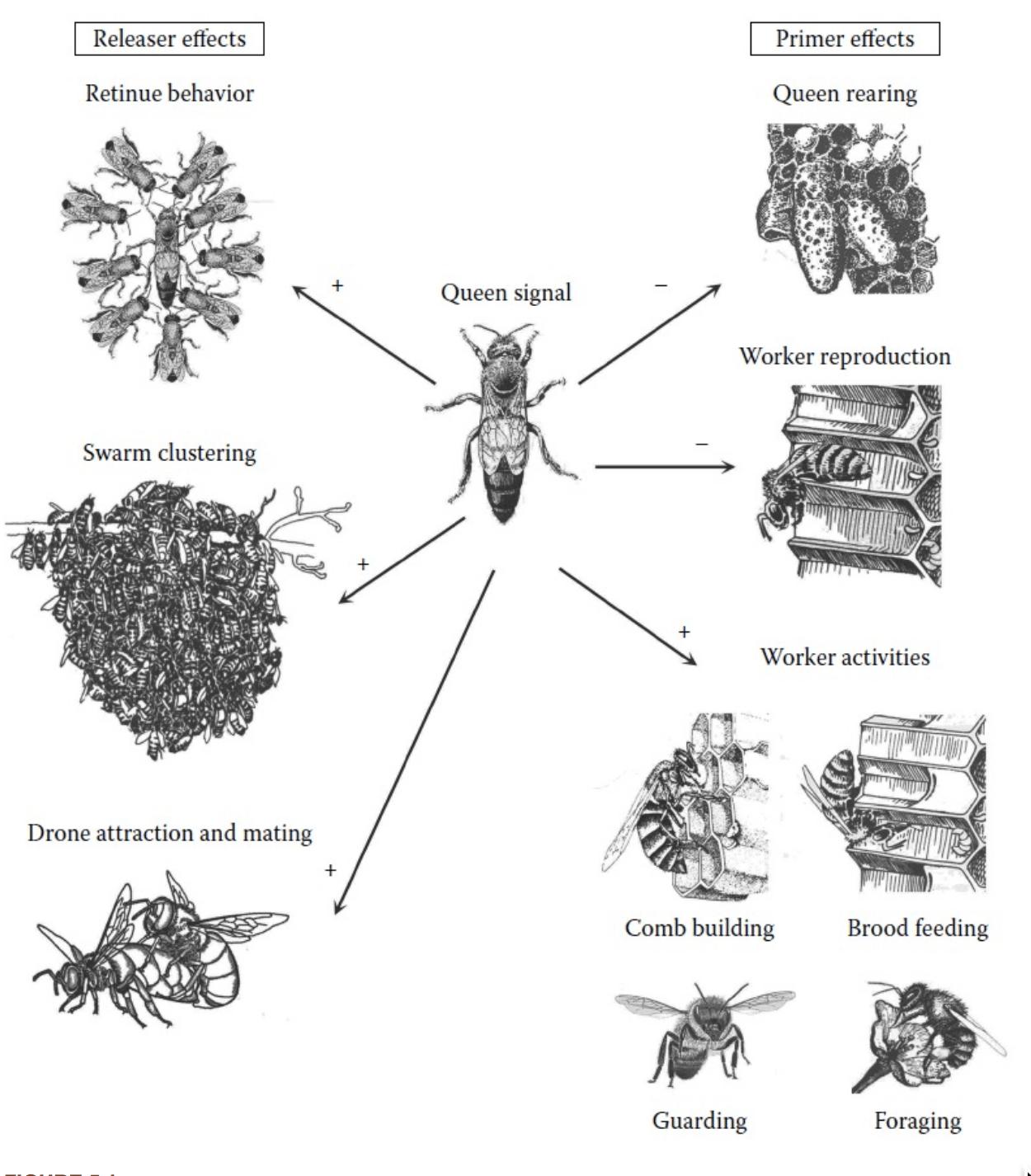 کاربرد فرمون در زنبور عسل