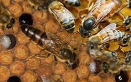 بررسی عملکرد ملکه های زنبور عسل قفقازی - بومی ایرانی